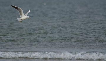 Vliegende kokmeeuw boven de Noordzee von Christel Nouwens- Lambers