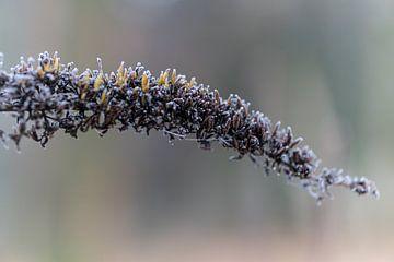 bevroren vlinderstruik/ close-up