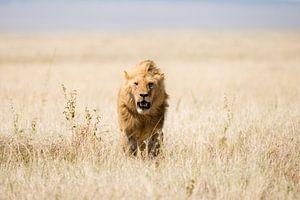Leeuw in open veld