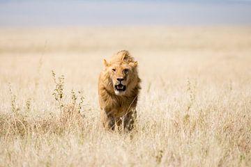 Leeuw in open veld van
