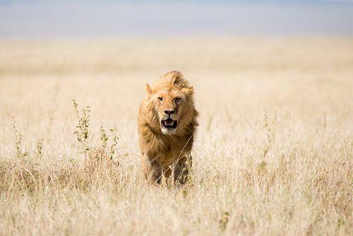 Leeuw in open veld van Tom van de Water