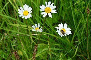 Wildblumen am Wegesrand von Susanne Seidel
