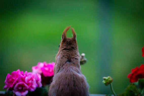 Eekhoorn achter de geranium.
