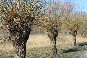 wilgenboom van Sedat Bice
