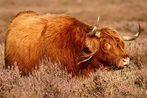 Schotse Hooglander op de hei van