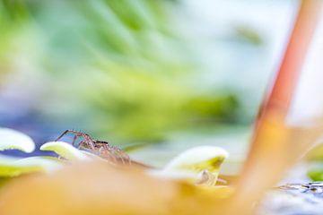 spin op een waterplant sur Marcel Derweduwen