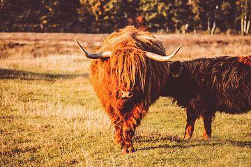 Schotse Hooglander voedt haar jong sur Edzard Boonen