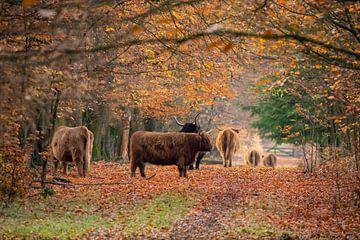 Herfst in Europa, met Schotse Hooglanders van Gert Hilbink
