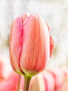 Tulp van