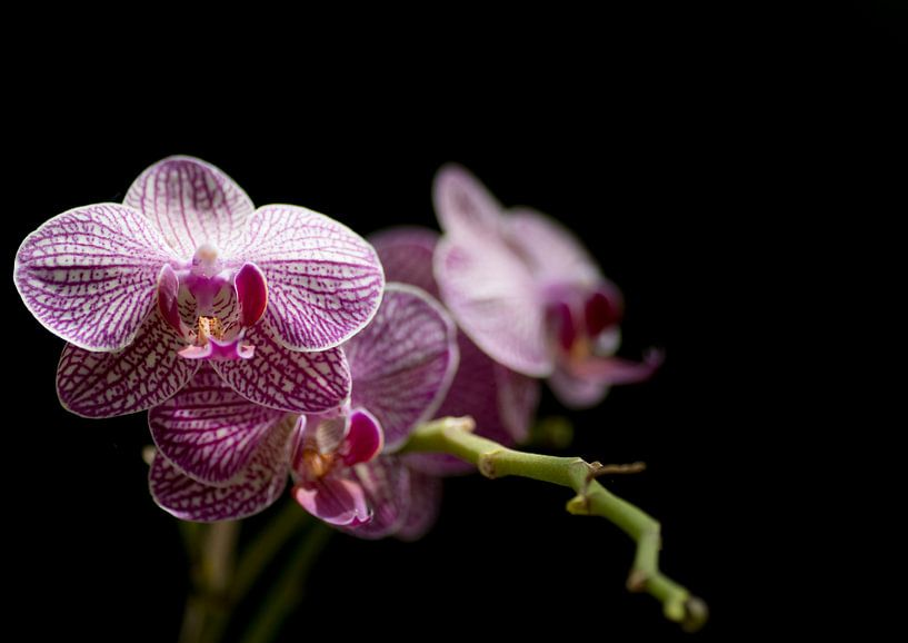 Paarse orchideeën close-up van Tomasz Baranowski