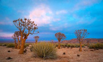 Kokerbomen in de vroege morgen, Kalahariwoestijn, Namibië van Rietje Bulthuis