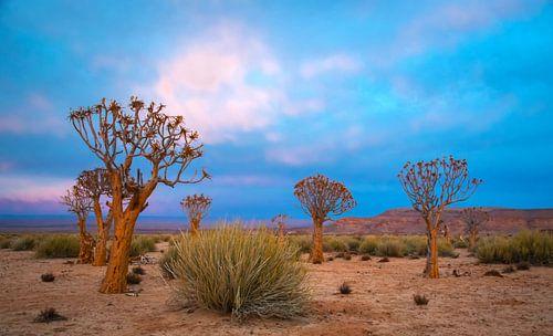 Kokerbomen in de vroege morgen, Kalahariwoestijn, Namibië