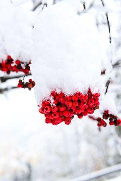 Rote Beeren im Schnee von Ginkgo Fotografie