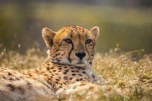Cheetah, Cheeta. Acinonyx jubatus von Gert Hilbink