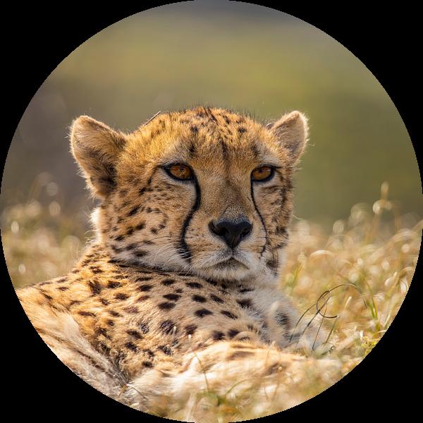 Jachtluipaard, Cheeta. Acinonyx jubatus van Gert Hilbink