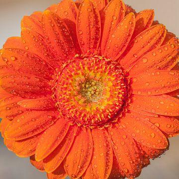 Gerbera oranje 3 von John Ouwens