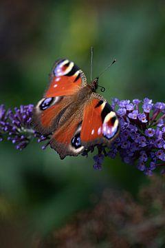 Pfau, Schmetterling von Nynke Altenburg