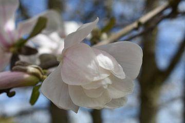 Witte magnolia van Henk-Jan Lubbers