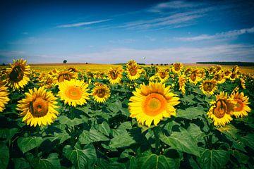 Veld vol zon - Zonnebloemen