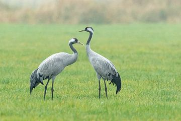 Twee kraanvogels in het gras