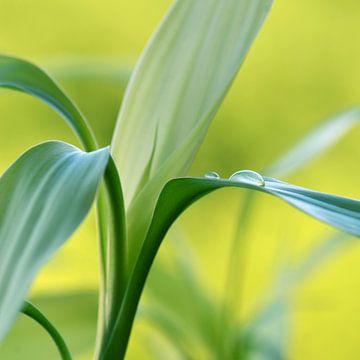 Lucky Bamboo  von Violetta Honkisz