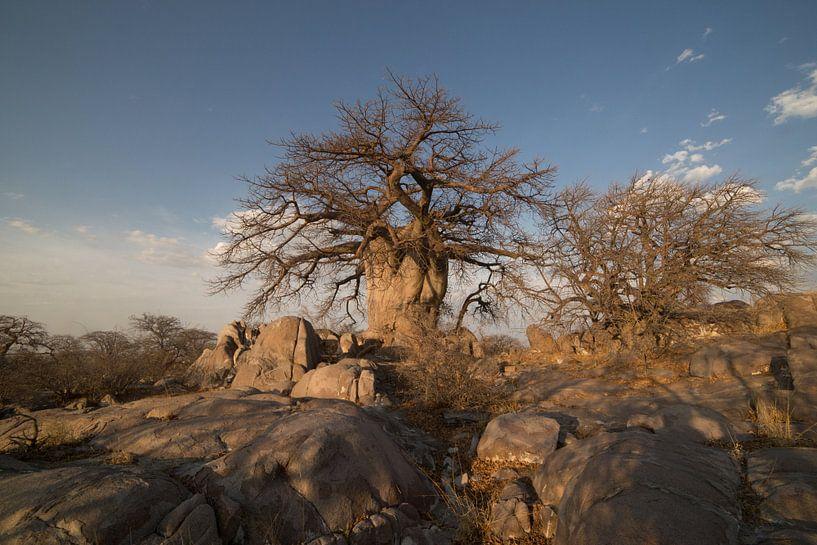 Baobab boom van Eddy Kuipers