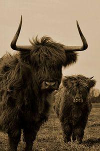 Schotse hooglanders sepia