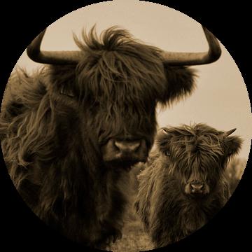 Schotse hooglanders sepia van Sascha van Dam
