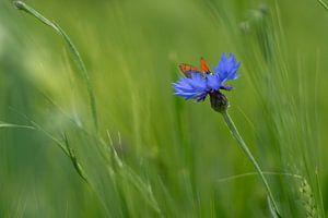 Vlinder op een korenbloem