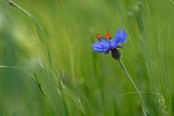Schmetterling auf einer Kornblume von Laura Büttner