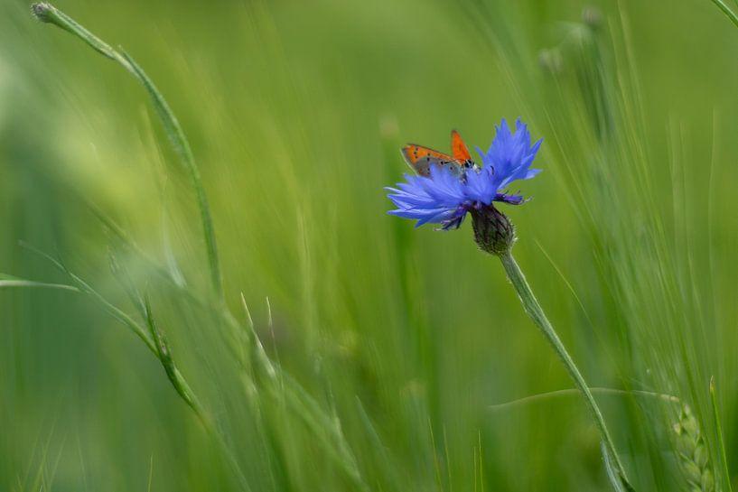 Vlinder op een korenbloem van Laura Büttner