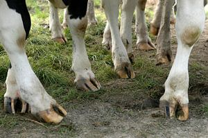 Koeienpoten van