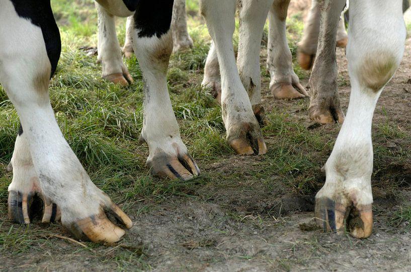 Koeienpoten van Wim van der Ende