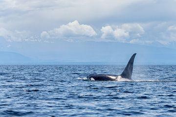 Orka in de oceaan van