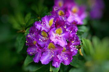 Rhododendron-Blüte von Gisela Scheffbuch
