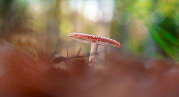 Vliegenzwam tussen de herfstbladeren van Michel Knikker