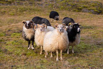Schafe in Island von Coen Feron