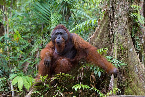 Borneose Oran-oetan (Pongo pygmaeus) man in het regenwoud van Nature in Stock