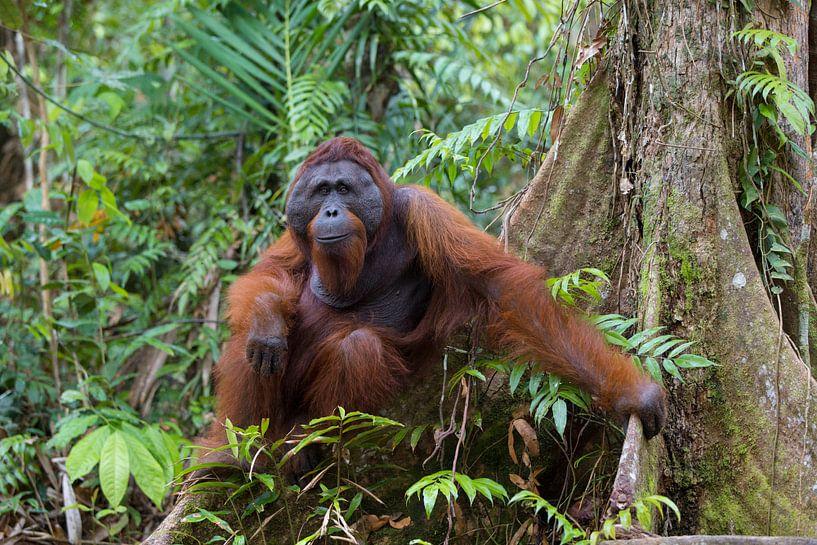Borneose Oran-oetan (Pongo pygmaeus) man in het regenwoud von Nature in Stock