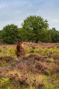 Wildpferd auf dem Veluwezoom