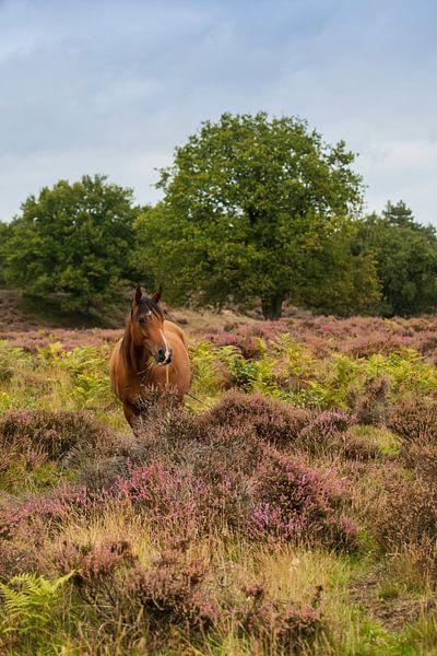 Wildpferd auf dem Veluwezoom von Compuinfoto .