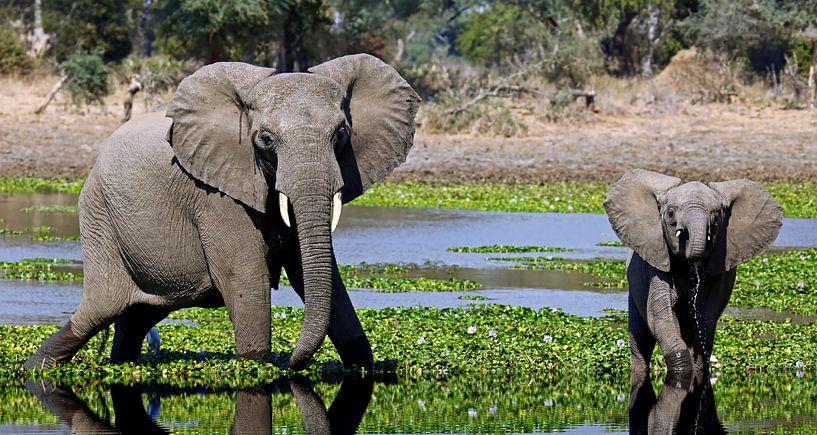 Elephants in the water - Africa wildlife van W. Woyke