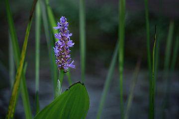Fleur bleue de la piéride des prés (Pontederia cordata), une plante ornementale de bassin de jardin,