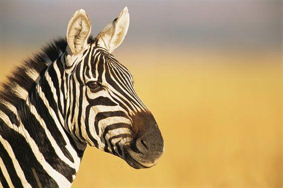 Portret van een Gewone zebra of Steppezebra (Equus quagga) in close-up