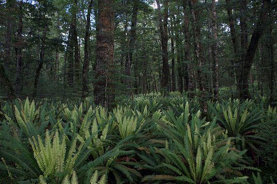 Varens in het regenwoud - Nieuw Zeeland