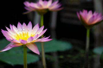 Waterlelies van Nederland van Anthony Trabano
