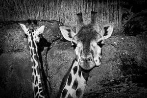 Giraffen van dichtbij von Abi Waren
