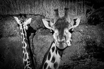 Giraffen van dichtbij sur Abi Waren