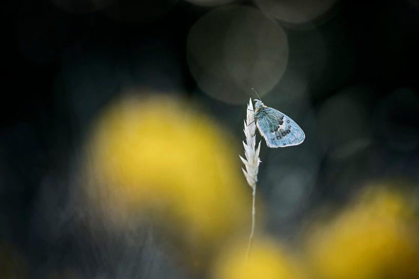 Vlinder tussen gele bloemen van Bob Daalder