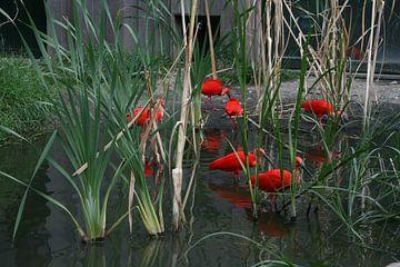 Red Birds sur Toekie -Art